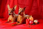 pic of miniature pinscher  - Miniature Pinschers on a red background - JPG
