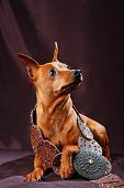 picture of miniature pinscher  - The Miniature Pinscher  - JPG