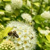 Winged Bee Slowly Flies To The Plant, Collect Nectar For Honey On Private Apiary From Flower. Honey  poster