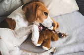 Cute Beagle Dog On Sofa With Teddy Bear On Sofa. Dog Lie On Couch And Bites. poster