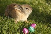 picture of thumper  - easter bunny with three eggs on field - JPG