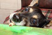 foto of disobedient  - Black shepherd dog stealing food from the table - JPG