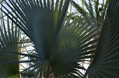 Fan Palms At Gardens