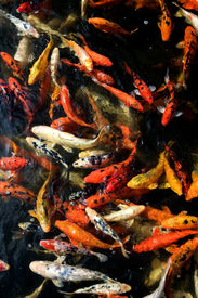 pic of koi fish  - Close up of a school of Cyprinus carpio in a pond - JPG