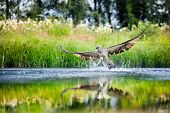 foto of osprey  - Osprey rising from a lake after catching a fish with wings spread wide - JPG