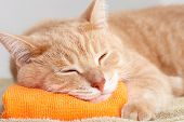 picture of furry animal  - Red tabby cat sleeping isolated on white background - JPG
