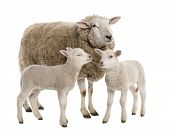 stock photo of suffolk sheep  - a Ewe with her two lambs in front of a white background - JPG