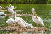 foto of marshes  - Pelican Colony In The Danube Delta Close Up - JPG
