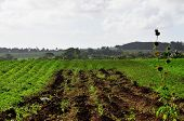 picture of rich soil  - Farmand being cultivated in the rich soil of Barbados - JPG