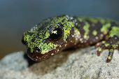 stock photo of newt  - portrait of a marbled newt on a rock - JPG
