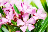stock photo of oleander  - Bright pink oleander flowers at the street - JPG