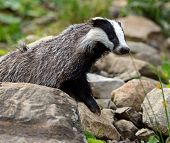 stock photo of badger  - Badger in the wild in their natural habitat - JPG