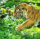 pic of tigress  - Portrait of Amur tigers in their natural habitat - JPG