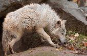 foto of lupus  - Blonde Wolf  - JPG