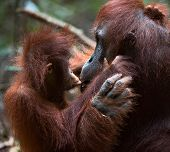 image of orangutan  - A female of the orangutan with a cub in a native habitat. The cub of the orangutan kisses mum. Borneo Rainforest.