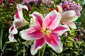 picture of stargazer-lilies  - Pink Lily Flowers on the plant in the garden - JPG