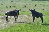 picture of wildebeest  - Wildebeest in Masai Mara National Park - JPG