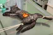 pic of anesthesia  - Animal surgery cat under anesthesia prepared for sterilization and hernia operation - JPG