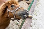 image of horses eating  - Falabella miniature horse eats potato - JPG