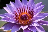 picture of raindrops  - Water Lily flower with raindrop - JPG