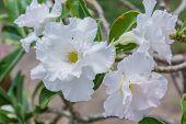 picture of angiosperms  - White Desert Flower adenium obesum in the garden - JPG