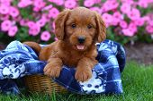 stock photo of poodle  - An adorable Poodle and Labrador Retriever mix (commonly called a Labradoodle) sits on a soft blanket in a wicker basket.
