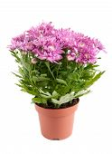 picture of chrysanthemum  - Lilac chrysanthemums in pots isolated on a white background - JPG