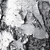 picture of white bark  - Black white illustration bark of a birch tree - JPG