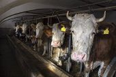 picture of teats  - Five Milking cows in a farm cowshed - JPG