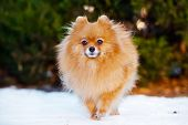 stock photo of pomeranian  - red pomeranian spitz dog outdoors in winter - JPG