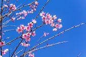 picture of sakura  - Cherry blossom or sakura flowers with blue sky in Thailand - JPG