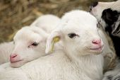 image of spring lambs  - Close - JPG