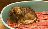 stock photo of badger  - Little brown dachshund  - JPG