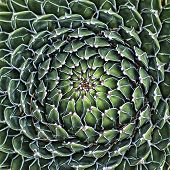 stock photo of plant species  - Queen Victoria Agave Agave victoriae - JPG