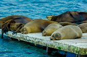 pic of dock  - sea lions laying on the dock galapagos islands ecuador - JPG