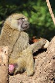 pic of anubis  - A olive baboon Papio Anubis is eating a sausage tree fruit Kigelia africana - JPG