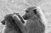 image of anubis  - A couple of grooming olive baboons Papio Anubis in black and white - JPG