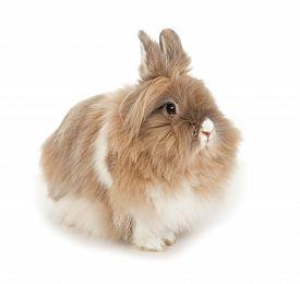 foto of dwarf rabbit  - Lionhead rabbit - JPG