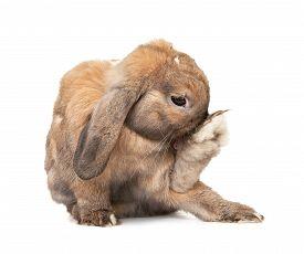 stock photo of dwarf rabbit  - Rabbit washes - JPG