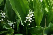 picture of day-lilies  - lilies of the valley  - JPG