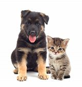 image of puppy kitten  - puppy and kitten looking on a white background - JPG