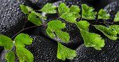 stock photo of fern  - beautiful spa concept of green twig Adiantum fern on zen basalt stones with drops panorama - JPG