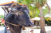foto of bull-riding  - traditional water buffalo ride at taketomi island japan - JPG