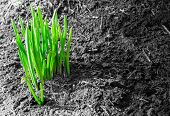 stock photo of shoot out  - Fresh green shoots of early plant life emerging from muddy spring soil - JPG