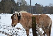 stock photo of bohemia  - brown horse on winter pasture - JPG