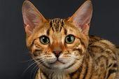 pic of bengal cat  - Close - JPG