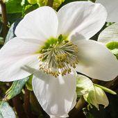 picture of lenten  - Closeup of a Christmas rose or Helleborus niger - JPG