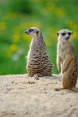 picture of meerkats  - Two Meerkats on watch on sandy ground with green grass on background - JPG