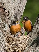 foto of robin bird  - father robin feed his unfledged young a tasty treat of earthworms while mom watches - JPG