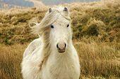 pic of pony  - Welsh Black mountain wild pony  - JPG